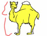 Camelo chato