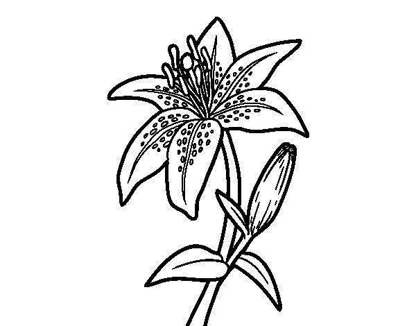 Desenho de Um lírio para Colorir