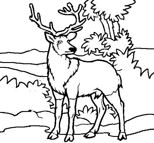 Desenho de Veado adulto para Colorir