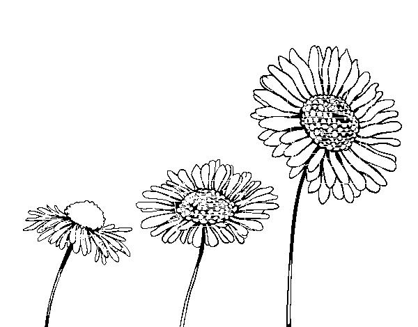 Desenho De Flor De Camomila Para Colorir Colorircom